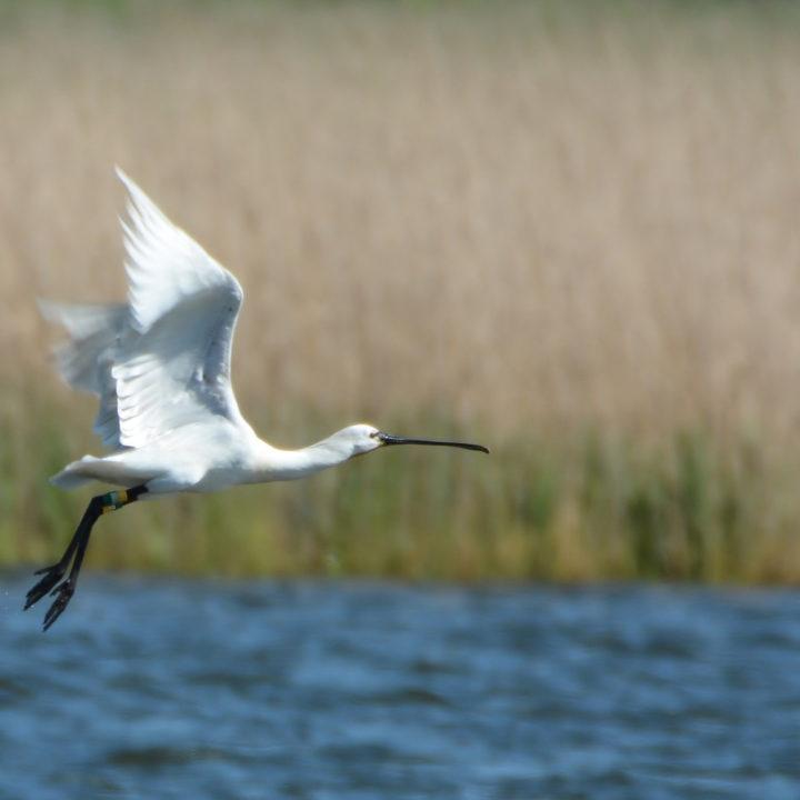 Vogel vliegt over een rivier