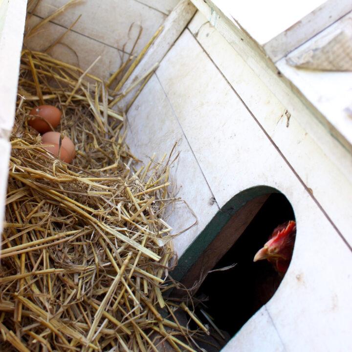 Kippenhok met eieren en kip