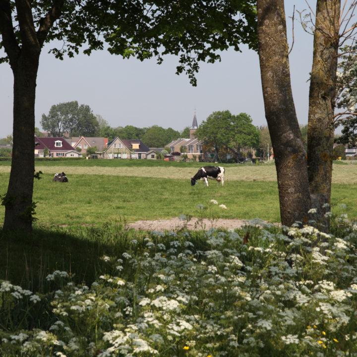 Koeien grazen in de wei met een dorpje op de achtergrond