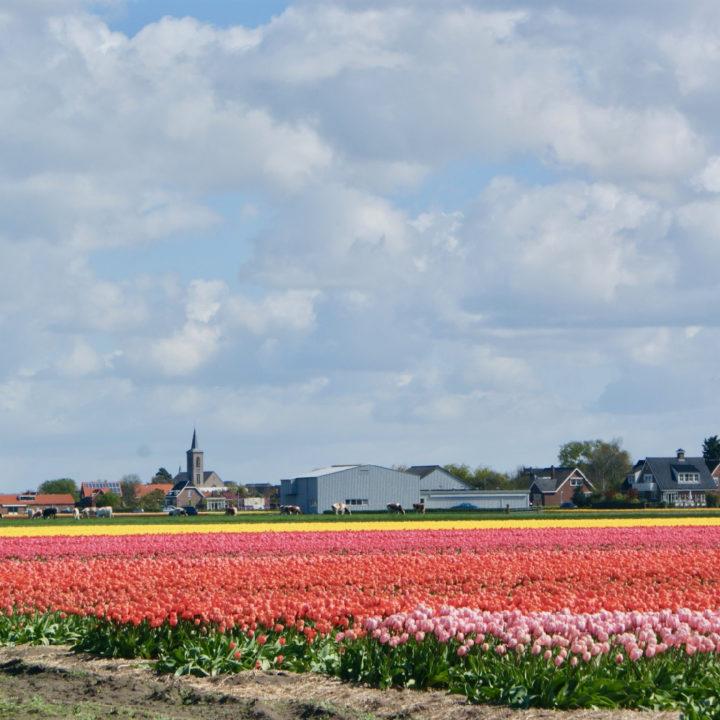 Groot veld met rode, roze en gele tulpen