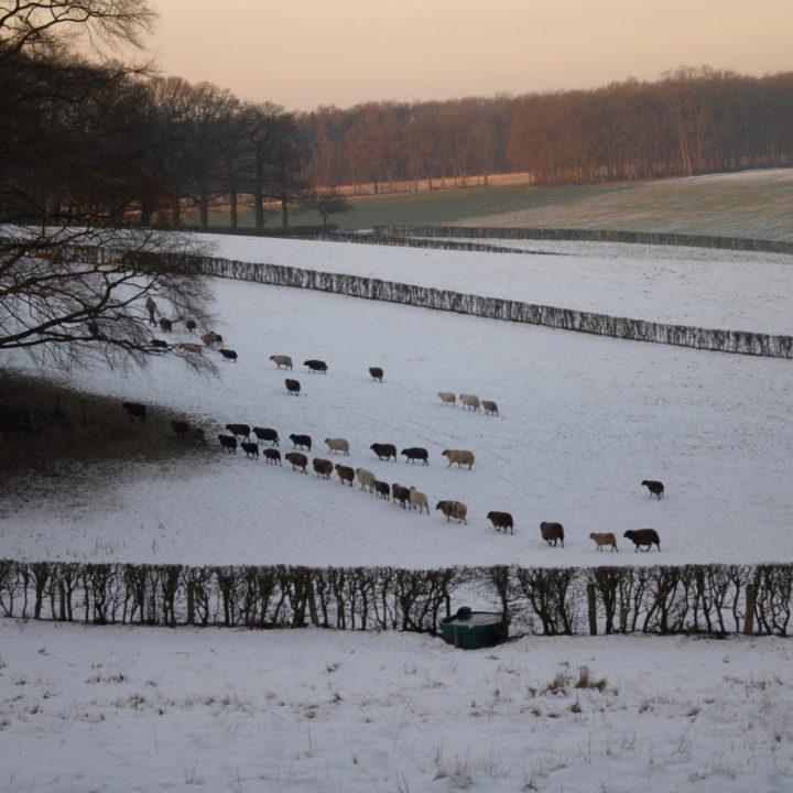 Sneeuwlandschap met een hek, heuvels en een schaapskudde
