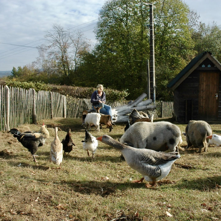 Ganzen en kippen en geitjes
