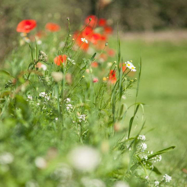 Klaprozen in het gras bij vakantiewoning Groot Okhorst