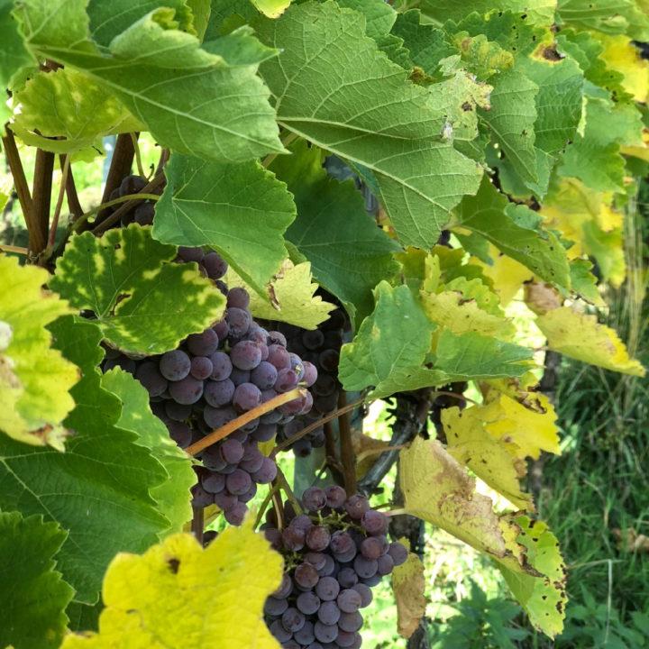 Wijnranken met blauwe druiven in de wijngaard van Domein Holset