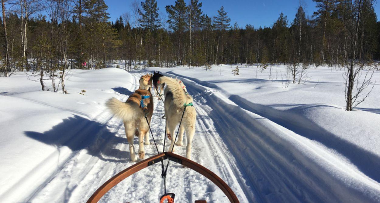 Hondenslee in actie in wit landschap