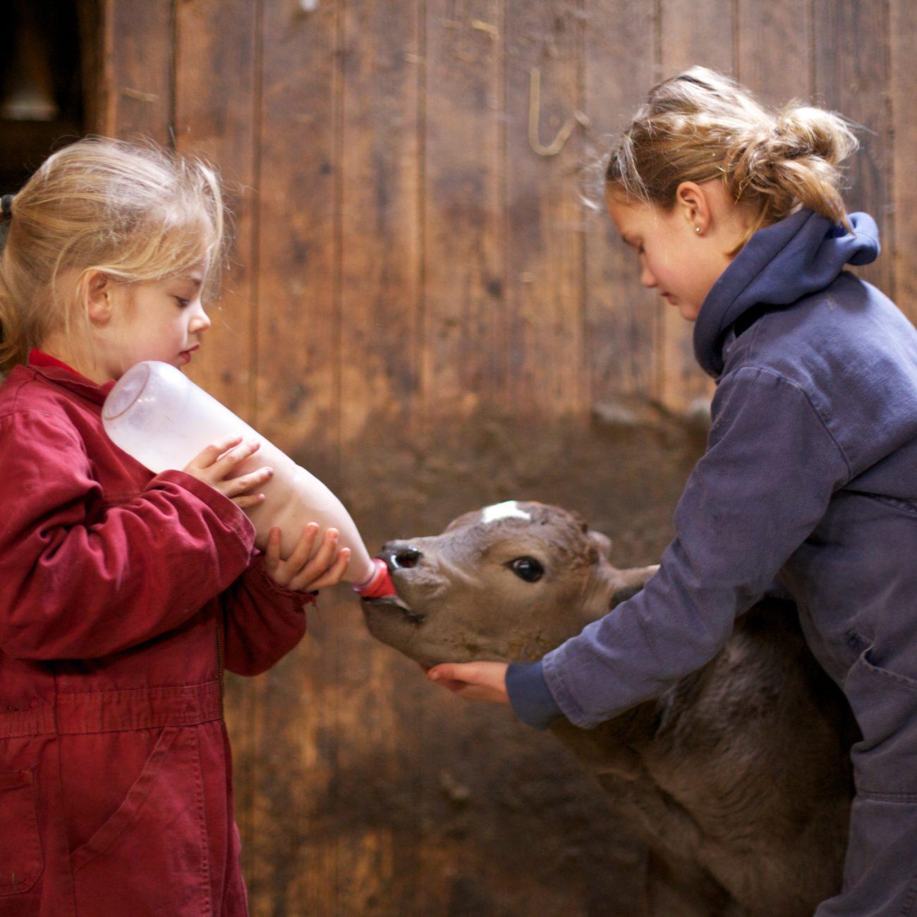 2 kinderen in overall die kalf melk geven