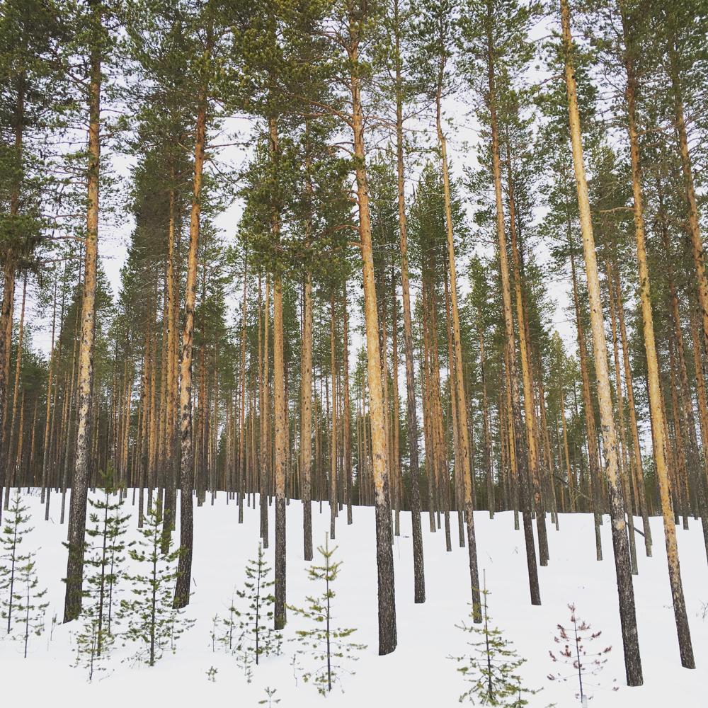 Dennenbos in de sneeuw in Lapland