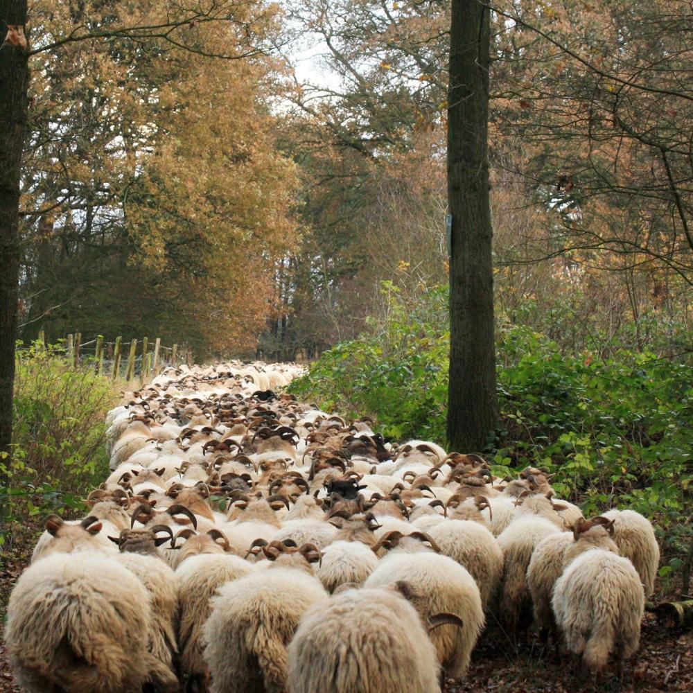 Een kudde schapen op een bospad in de herfst