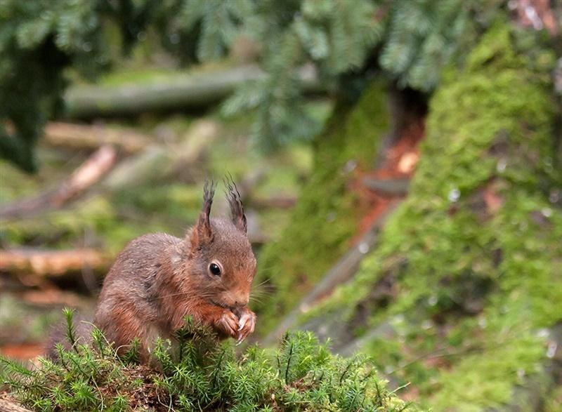 Een close-up van een eekhoorn die iets lekkers tussen zijn voorpootjes heeft