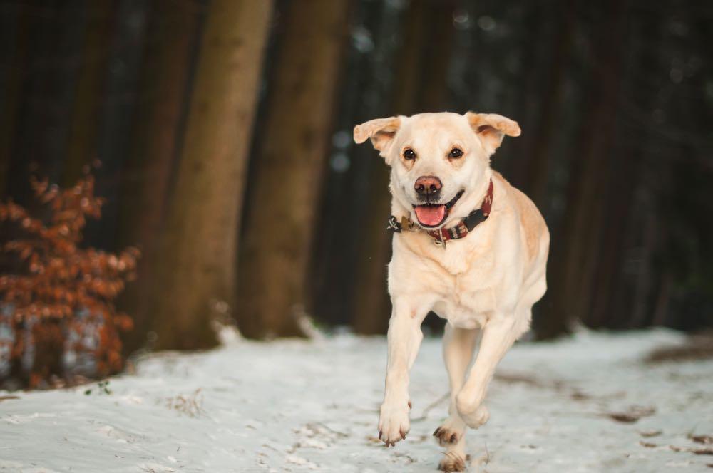 Blije hond op vakantie in het bos, rennend door de sneeuw