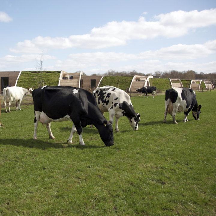 Logeren bij Koe in de Kost is logeren tussen de koeien!