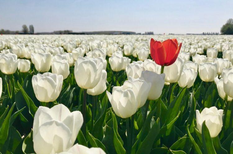 Een veld met witte tulpen met een rode tulp ertussen