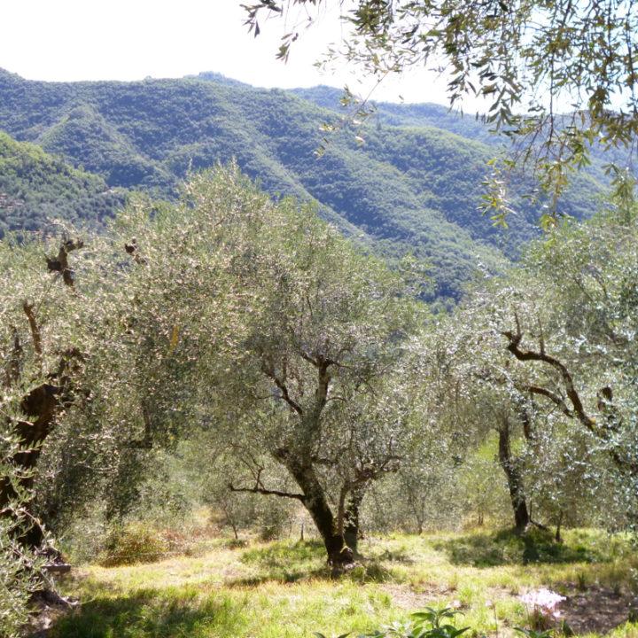 Op het land van Casa Rovear staan 130 eeuwenoude olijfbomen