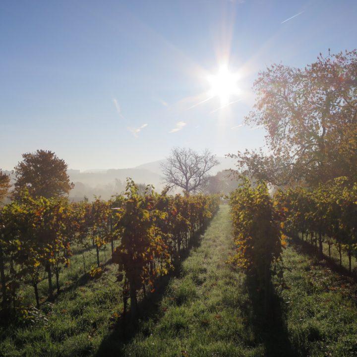 De wijngaard in de herfst, bij zonsopgang