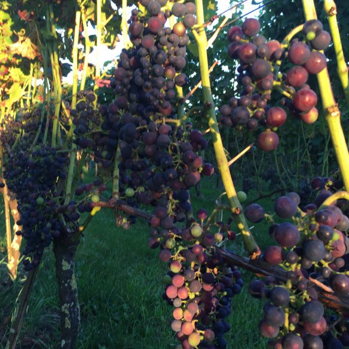 De Wijnstaete heeft vijf soorten druiven
