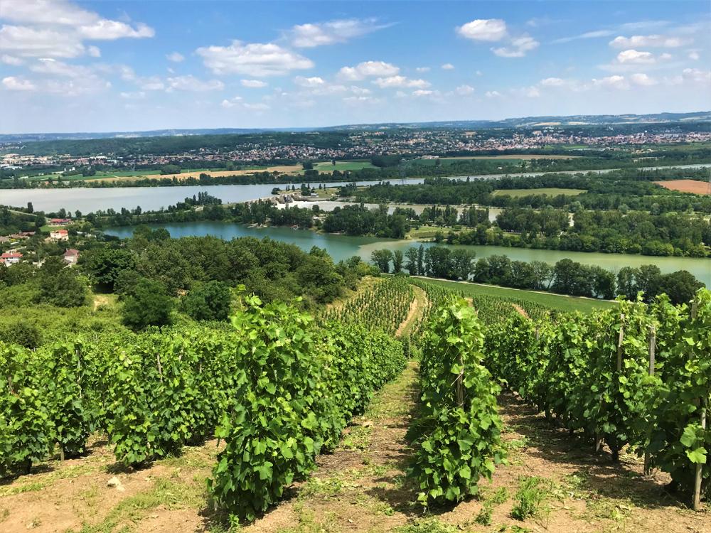 Wijngaarden op de hellingen langs de rivier de Rhone