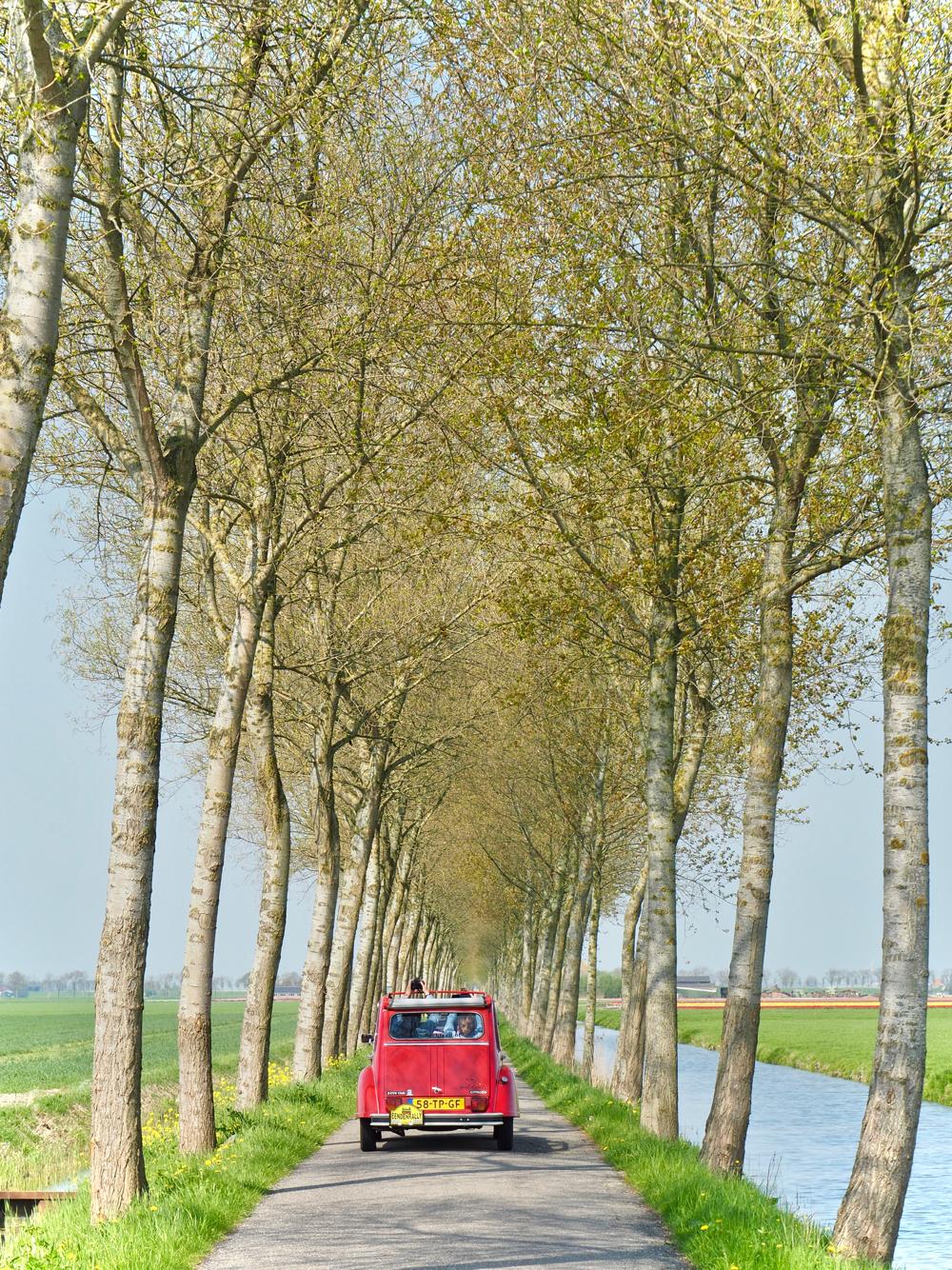 Rode eend op een landweg in de Beemster