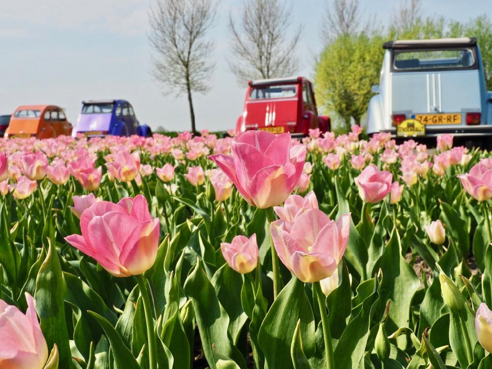 Bloeiende tulpen met lelijke eendjes
