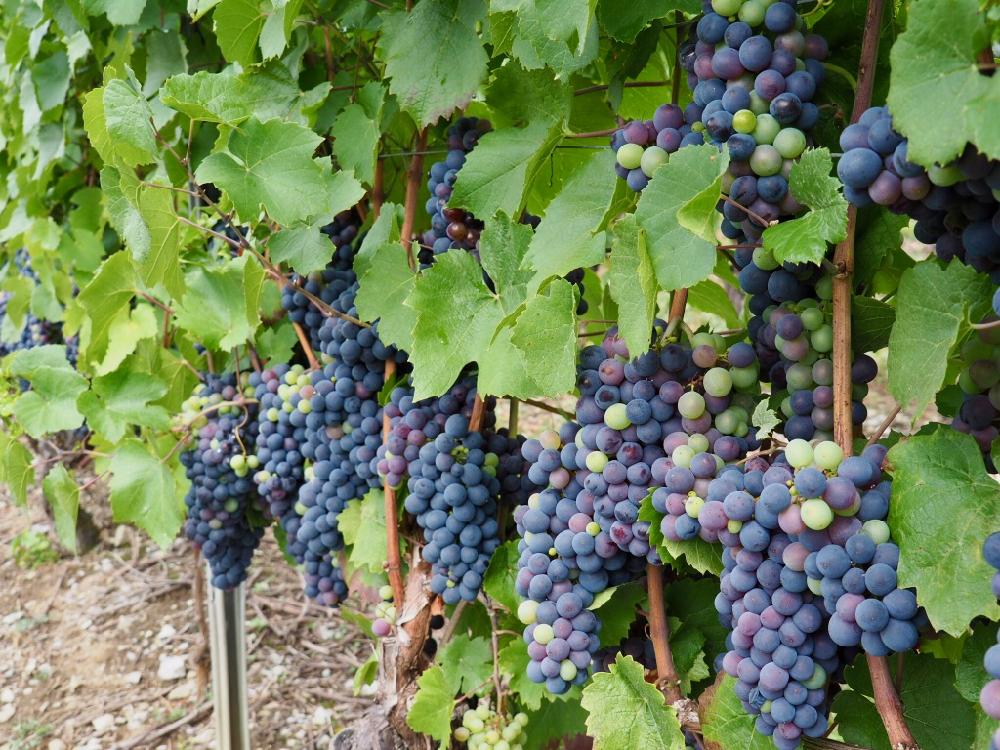 Blauwe druiven in de Savoie Mont Blanc