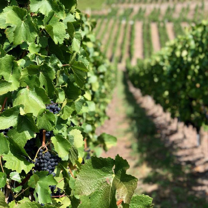 Blauwe druiven aan de wijnranken