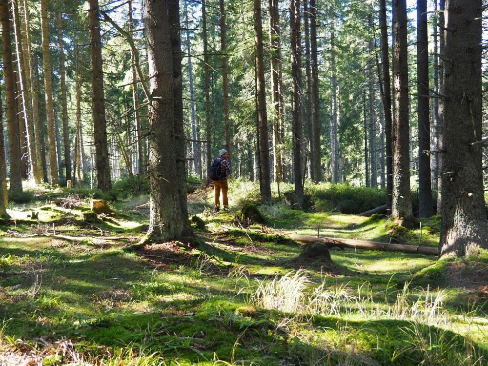 Bos met dennenbomen en mos en een wandelaar die geniet in de zonnestralen