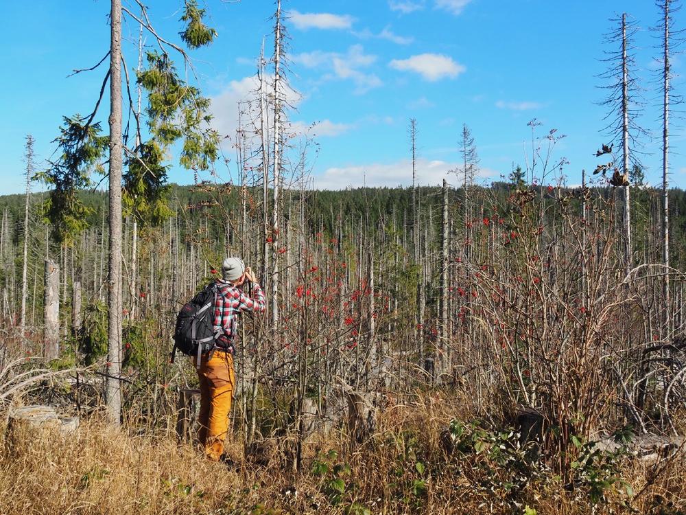 Een wandelaar met verrekijker in een landschap met berken en dennenbomen