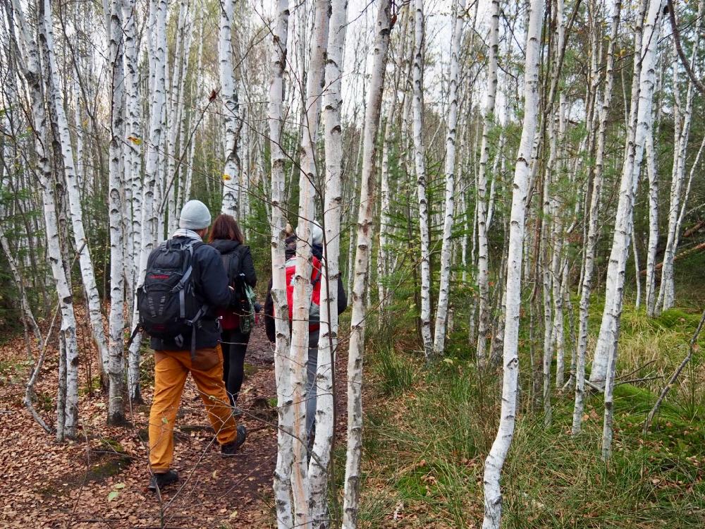 Wandelaars in een berkenbos