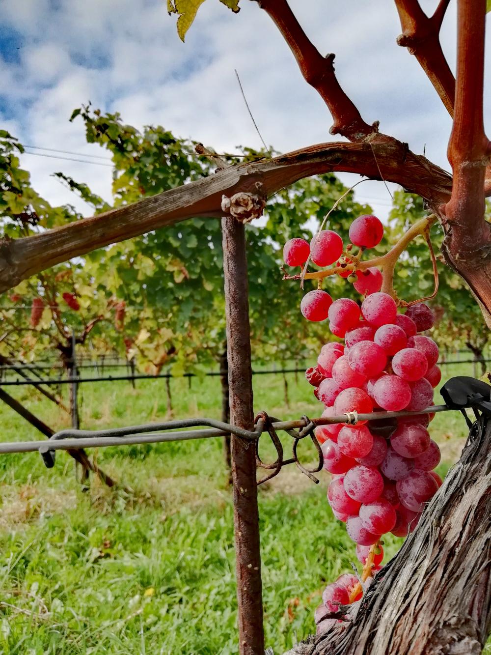 Een tros rode druiven aan een wijnrank