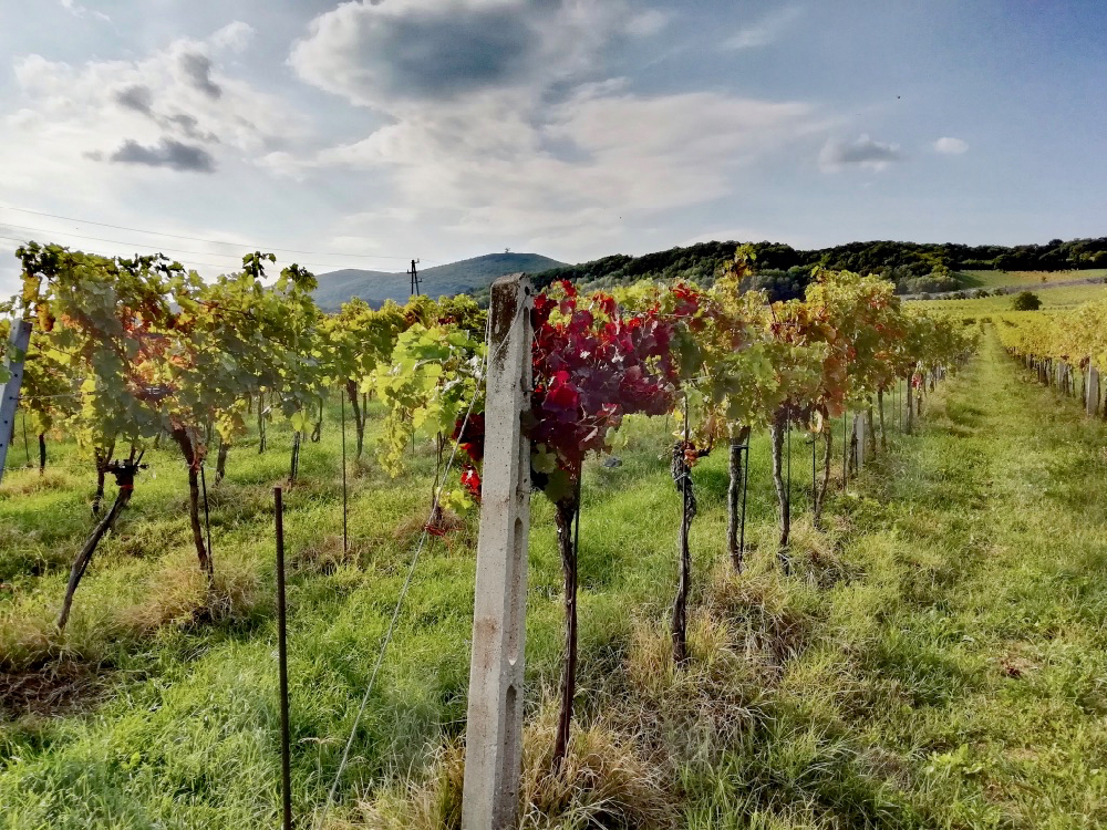 Een wijngaard met herfstkleuren op de hellingen in Oostenrijk