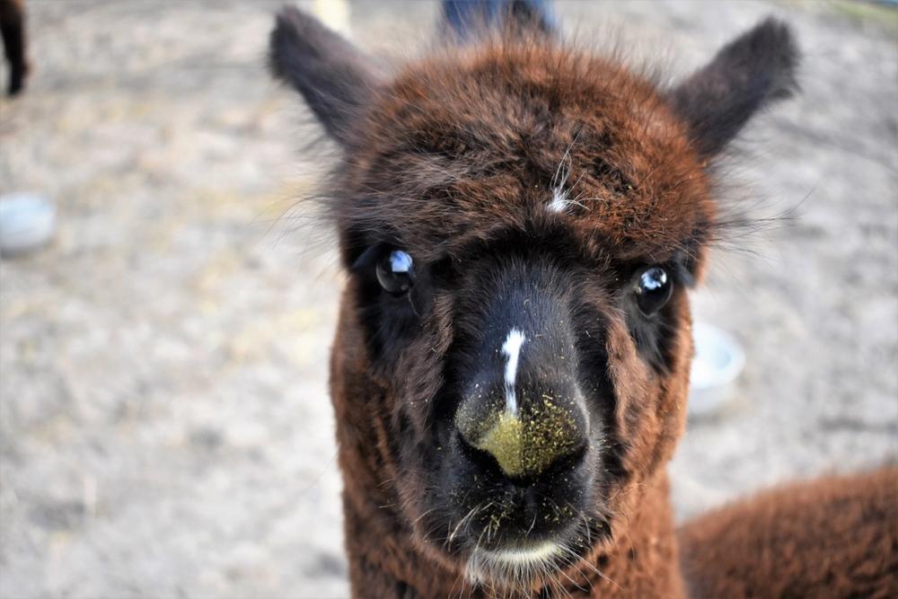 Een close up van een bruine Alpaca met heldere ogen