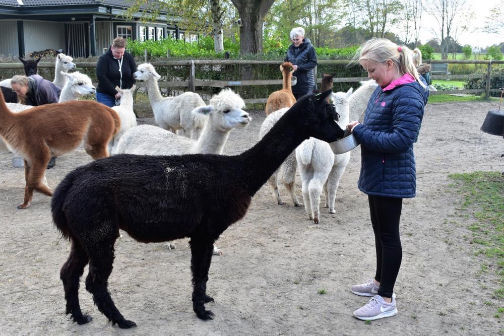 Tijdens een feed & greet mag je Alpaca's knuffelen en te eten geven.
