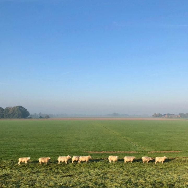 Een weiland met een lange rij met schaapjes, in het ochtendlicht.