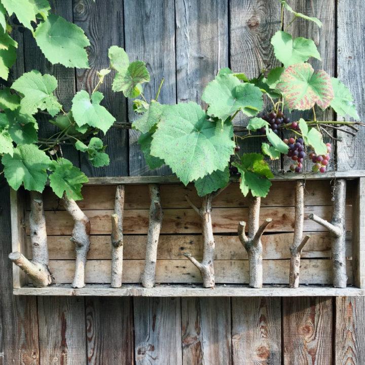 Wijnranken met trossen druiven tegen een houten schuur