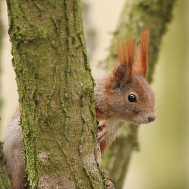 Eekhoorn in een boom