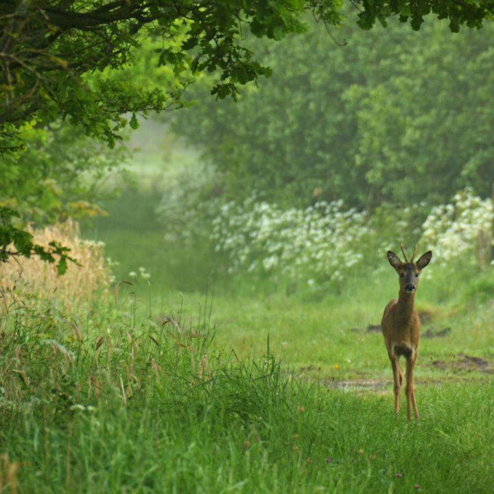 Een ree in het hoge gras