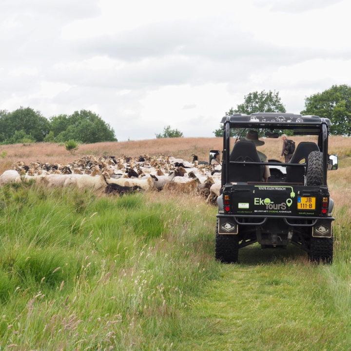Een stoere elektrische open terreinwagen rijdt langs een kudde schapen