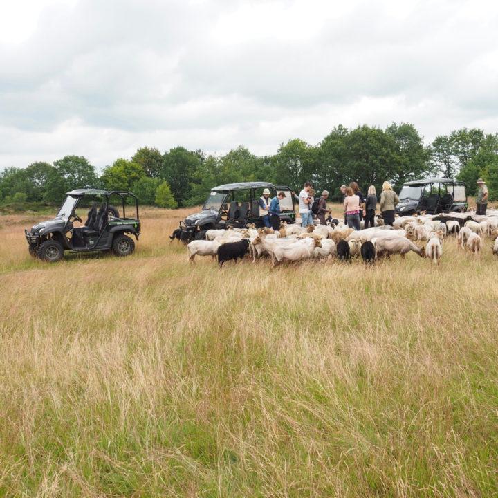 Elektrische terreinwagens bij Exloo, in het gras met een schaapskudde rond de auto's