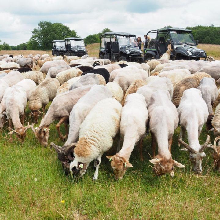 Elektrische terreinwagens tussen de schapen