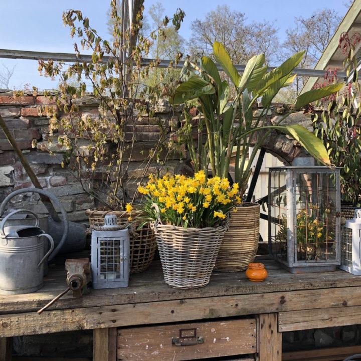 Een werkbank met potten met planten, lantaarns en een mand met narcissen