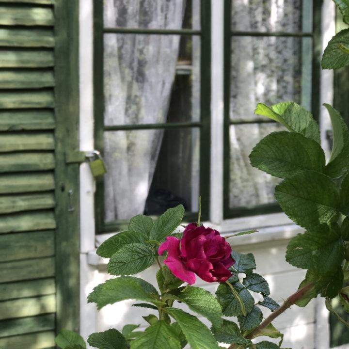 Roze roos voor het tuinhuisje