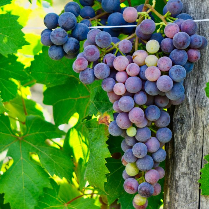 Blauwe druiven in het zonlicht
