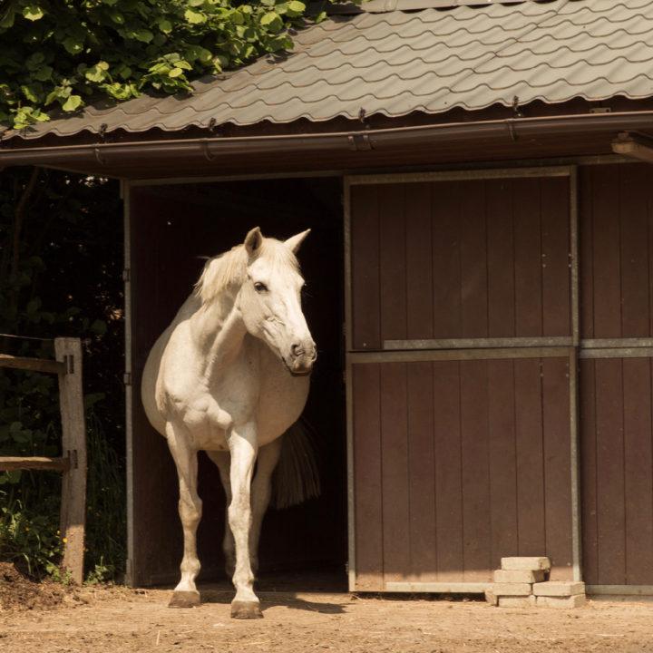 Wit paard voor de stal