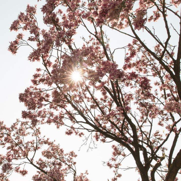 Roze bloesem in het zonlicht