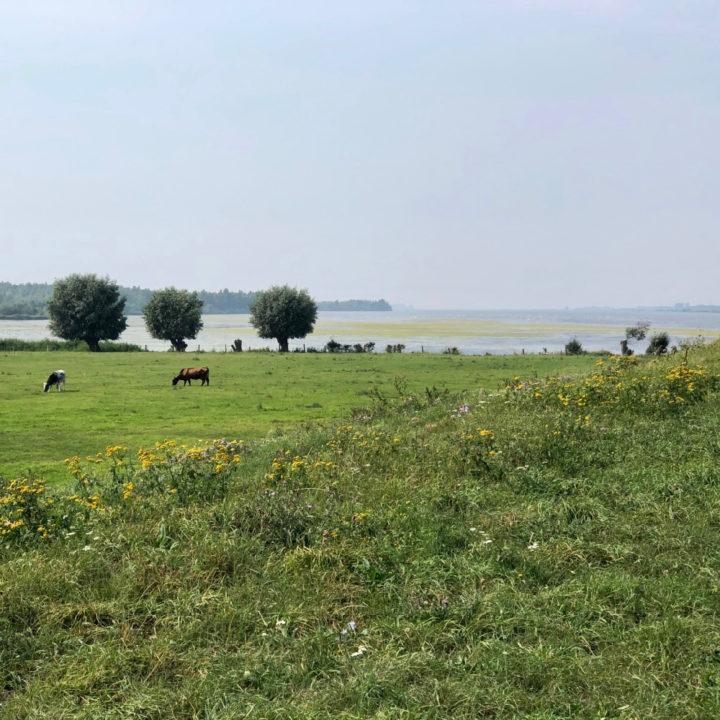 Koeien op een gras veld