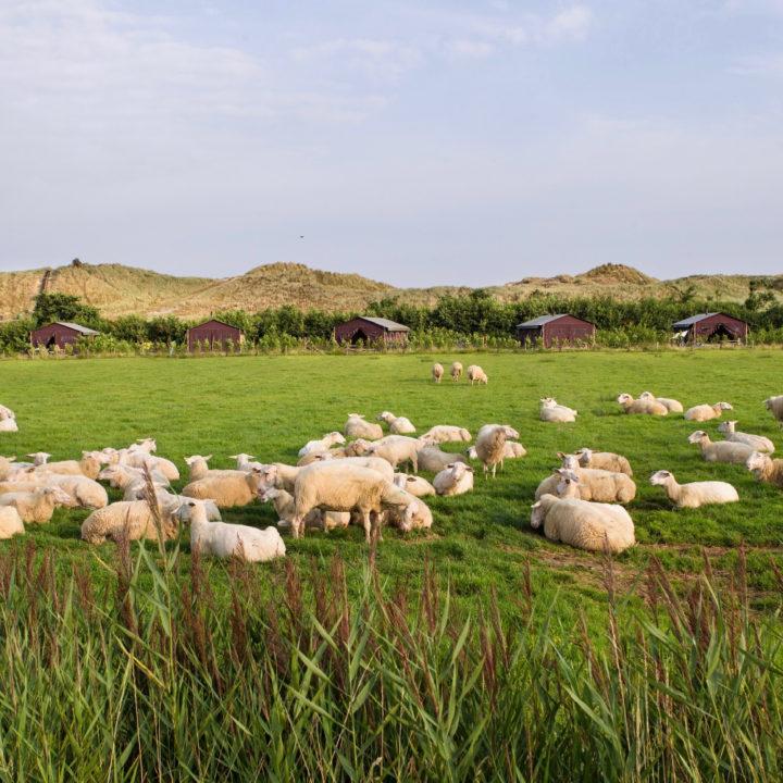 Glamping op Terschelling tussen de schapen