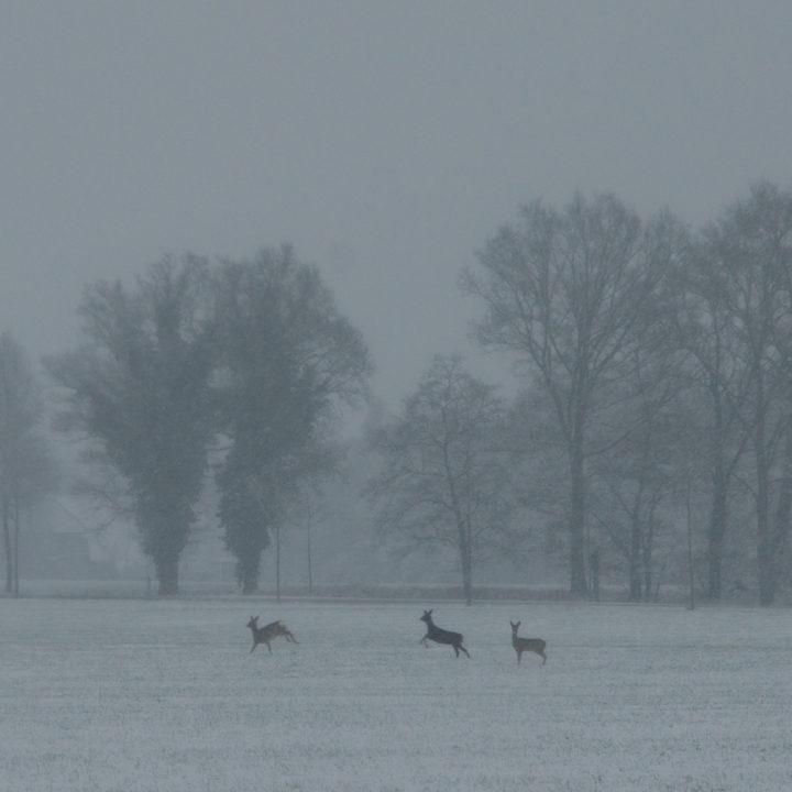 Hertjes rennen door de sneeuw