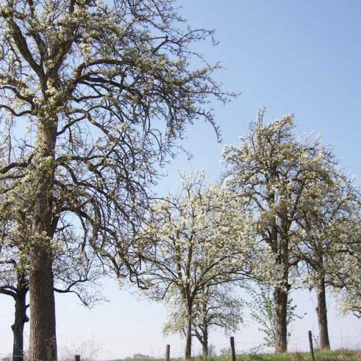 Bloeiende bloesem in Zuid-Limburg