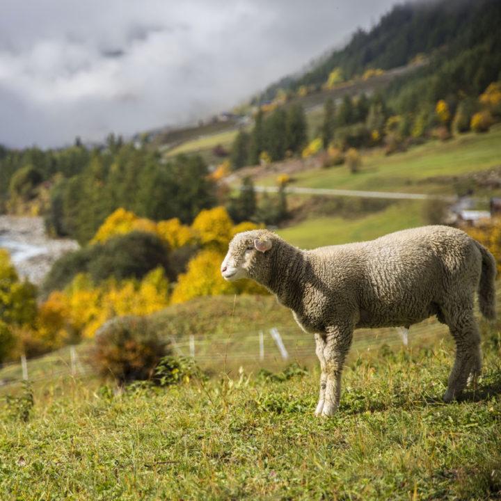 Schapen op een bergweide in Wallis