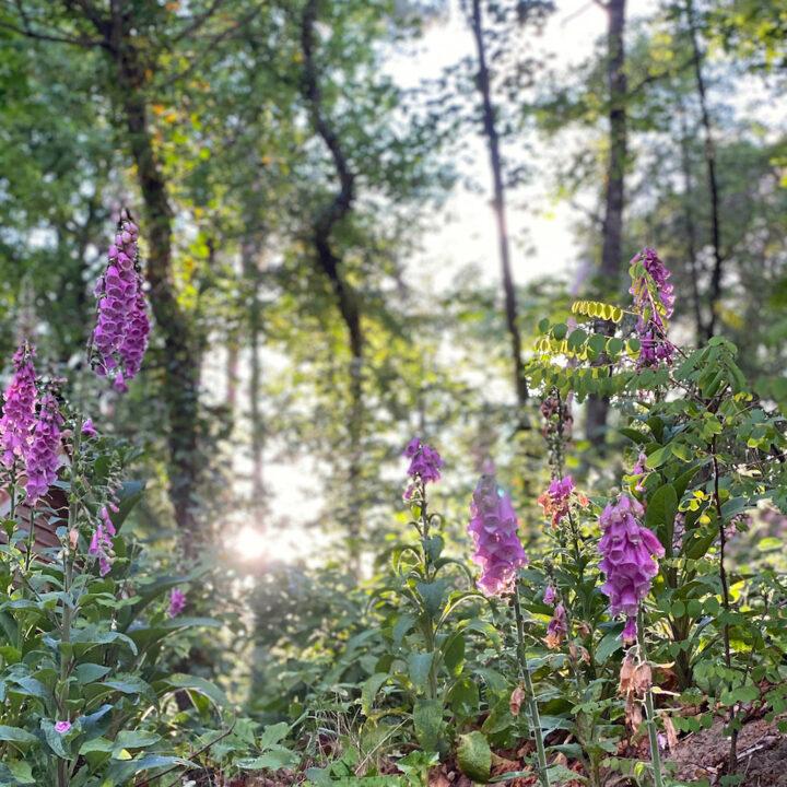 Bloeiend vingerhoedskruid in het bos