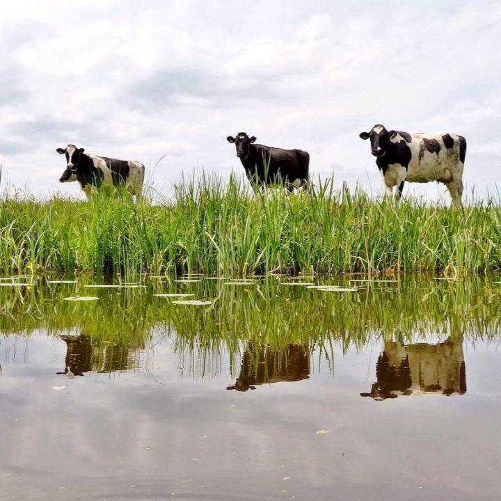 Koeien op een rij aan de waterkant